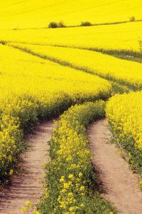 cian's mustard field